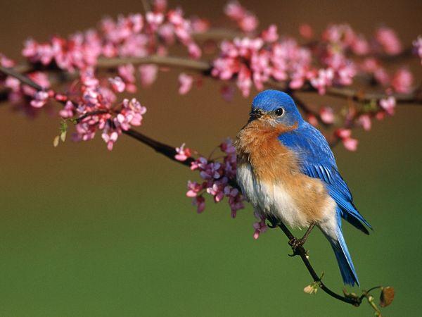 Vistas at Greenwood Hills - Bluebirds